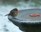 robin-on-ice